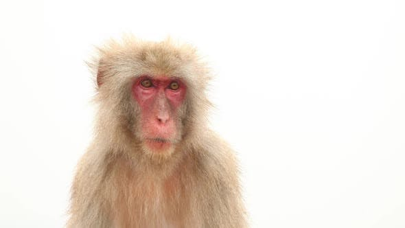 Japanese Macaque In Nature