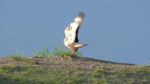 Hunter Predator Hawk is Bird of Prey in Genus Buteo
