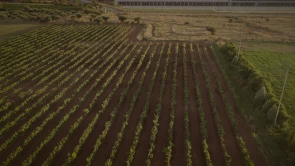 Aerial view of flyingover vineyard in Greece.