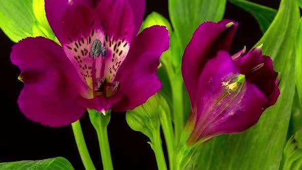 Thumbnail for Alstroemeria Blossom on Black Time Lapse