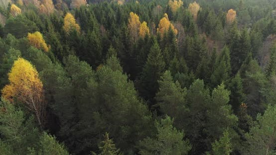 Thumbnail for Aerial Evergreen Forest with Yellow Birch Trees in Autumn