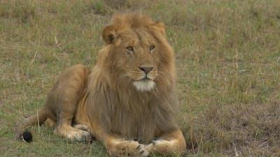 A lion resting