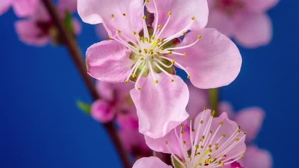 Thumbnail for Peach Blossom Timelapse 2