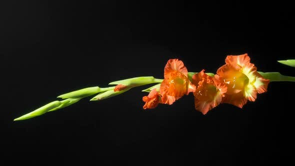 Thumbnail for beautiful yellow and orange gladiole