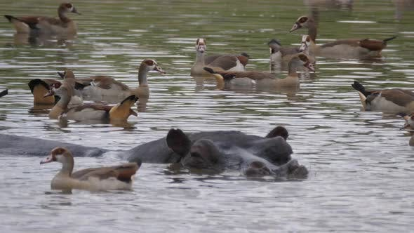 Cover Image for Close up from Hippopotamus surrounded with Egyptian Goose in a lake