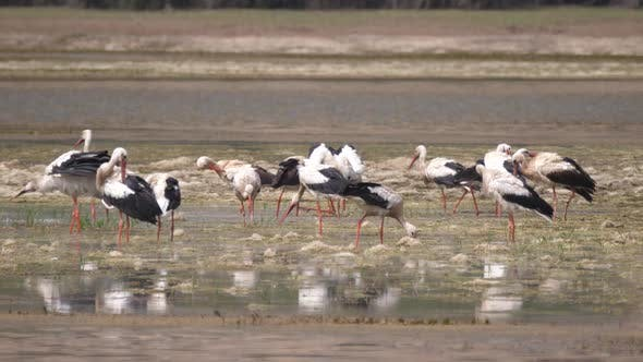Thumbnail for Group of Storks in A Lake