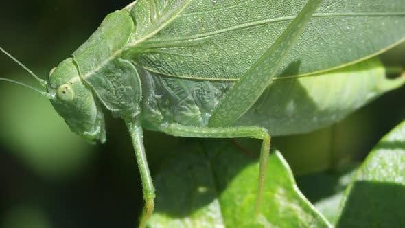 Thumbnail for Katydid Macro on leaves