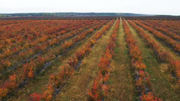 Thumbnail for Red Rows of Blueberry Bushes From Flying Drone. Blueberry Farm in the Autumn