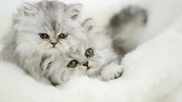 Thumbnail for Two cute fluffy kittens lying on white blanket