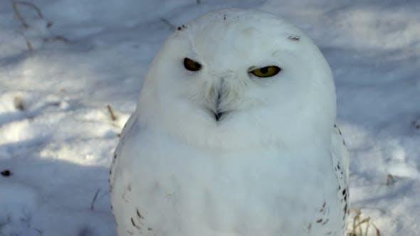 Thumbnail for White Owl
