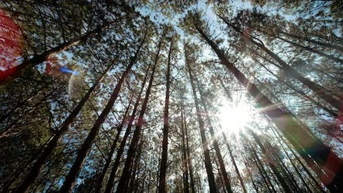 View up or bottom view of pine trees inthe forestin sunshine