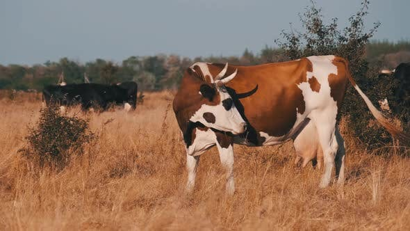 Thumbnail for Cows Grazes on a Meadow in the Setting Sun