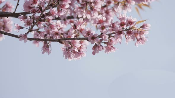 Cherry Blossom Branch With Space