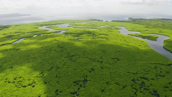 Mangrove Field in Tropical Forests with Marine Bay Ecology System in Siargao, Philippines