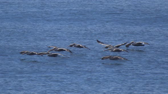 Thumbnail for A flock of pelicans fly over the Pacific Ocean.