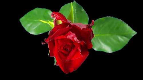 Red rose dies