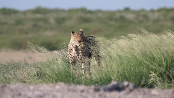 Thumbnail for Wounded Cheetah in high grass