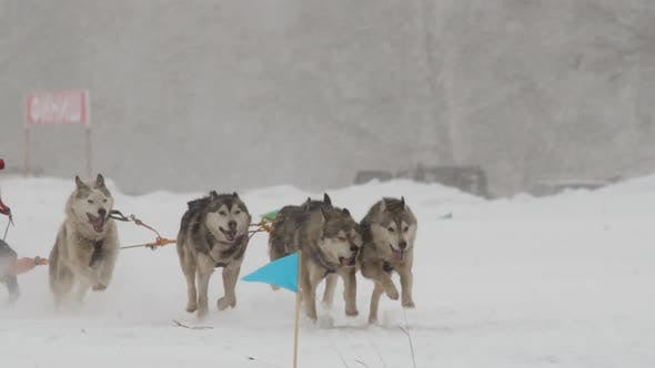 Thumbnail for Husky Dog Team Participates in the Race