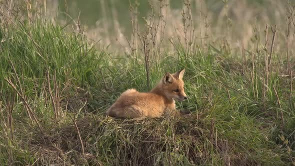 Thumbnail for Red Fox Young Pup Lone Sitting Laying Down in Spring Den in South Dakota