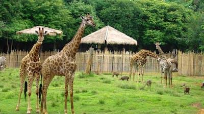 giraffe resting in a nature