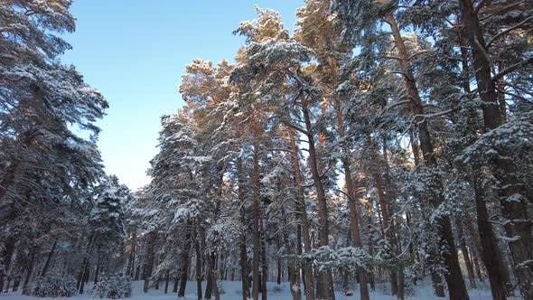 Pine forest in winter covered with snow. Aerial View