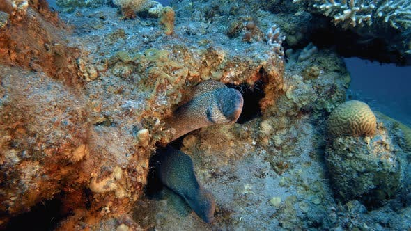 Cover Image for Underwater Yellow Mouth Moray