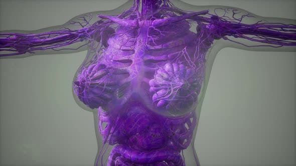 Thumbnail for Model Showing Anatomy of Human Body Illustration