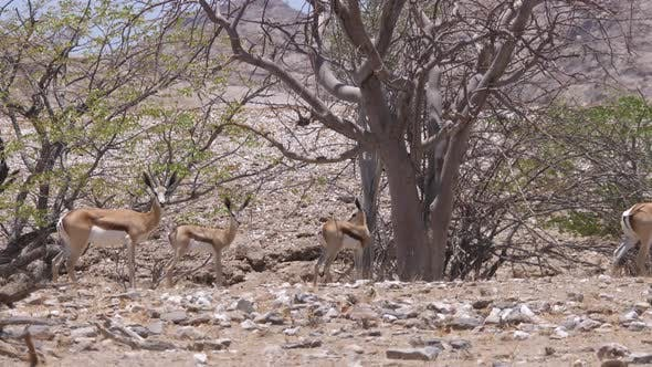 Herd of Springboks Passing by At the Hoanib Riverbed