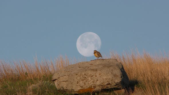 Thumbnail for Western Meadowlark Male Adult Lone Calling Singing Song in Spring Dawn Morning Rock Full Moon