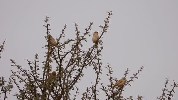 Thumbnail for Desert Lark Birds on Tree Branches in Desert