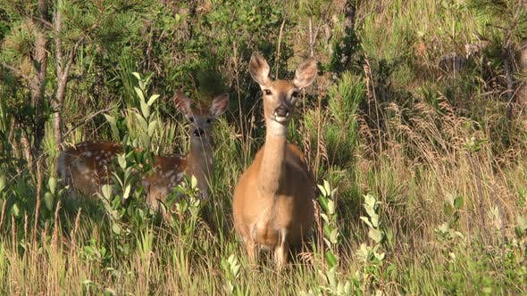 White-tailed Deer Doe and Fawn Alarmed Nervous Wary Looking at Camera