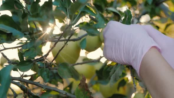 Thumbnail for Farmer's Hands Pluck Apples From Branches in the Sun's Rays