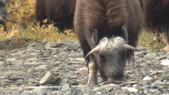 Musk Ox Immature in Autumn in Alaska
