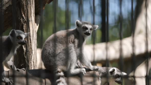 Thumbnail for Lemur Flocks Sit On A Tree In A Cage