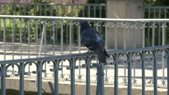 Taube entspannt auf einem Geländer