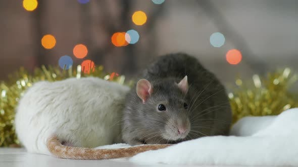 Thumbnail for Two Rats with Sparkling Lights at The Background