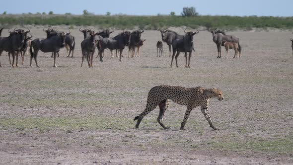 Thumbnail for Cheetah walks away from a herd of wildbeest