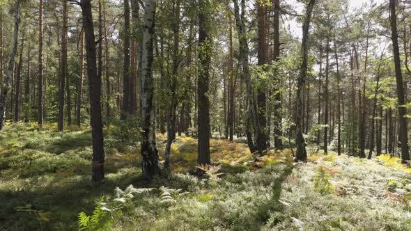 Thumbnail for A Forest with Trees and Bracken on a Sunny, Windy Day.