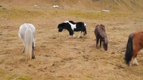 Thumbnail for Icelandic Horses Eating Grass In Winter