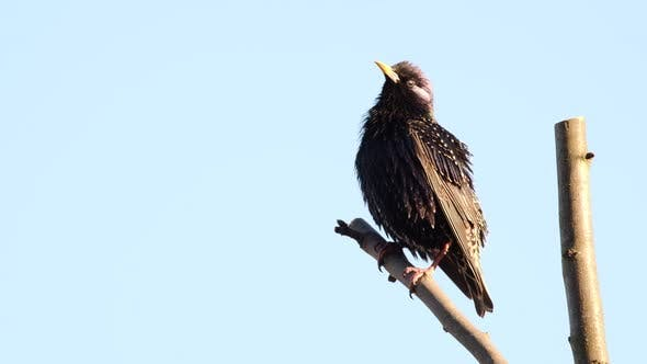 Thumbnail for Singing Starling on Branch