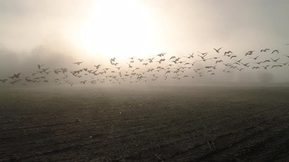 Cover Image for Slow Motion Aerial Of Geese Flying In Sunny Fog Haze Over Farm Field