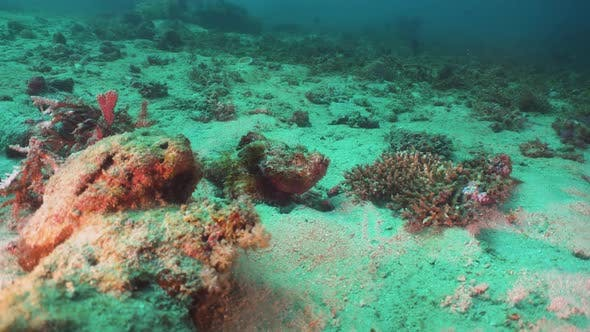 Cover Image for Scorpionfish on Coral Reef. Philippines, Mindoro