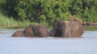 Elephants mating in a lake