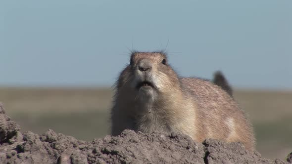 Thumbnail for Black-tailed Prairie Dog Adult Lone Alarmed Nervous Wary in Summer Barking Calling Yipping