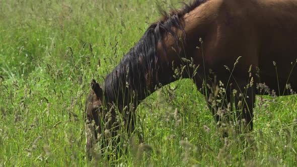 Thumbnail for Horse on a Summer Pasture.