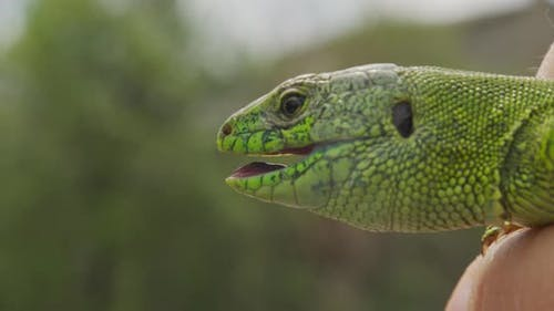 Lizard, Portrait of Green Headed Agama Lizard. Rwanda Africa. Stable Footage. Closeup.