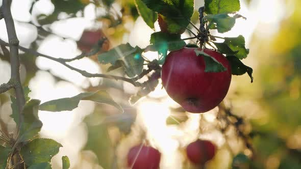Thumbnail for Female Hands Pluck a Beautiful Red Apple From a Branch