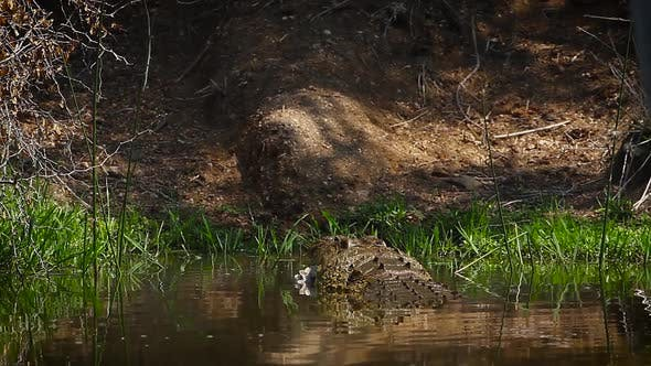 Thumbnail for Nile crocodile in Kruger National park, South Africa