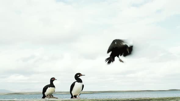 Magellanic Cormorants in the Islas Malvinas (Falkland Islands).