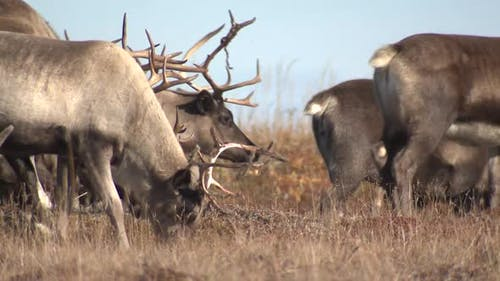 Caribou Male Female Adult Young Herd Many Grazing Feeding Eating in Autumn